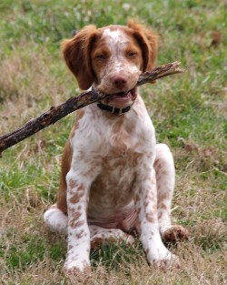 great Brittany Field Trial French Brittany Spaniel Roan You Know Youre So Mexican If